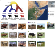 The mosaic genome of indigenous African cattle as a unique genetic resource for African pastoralism썸네일